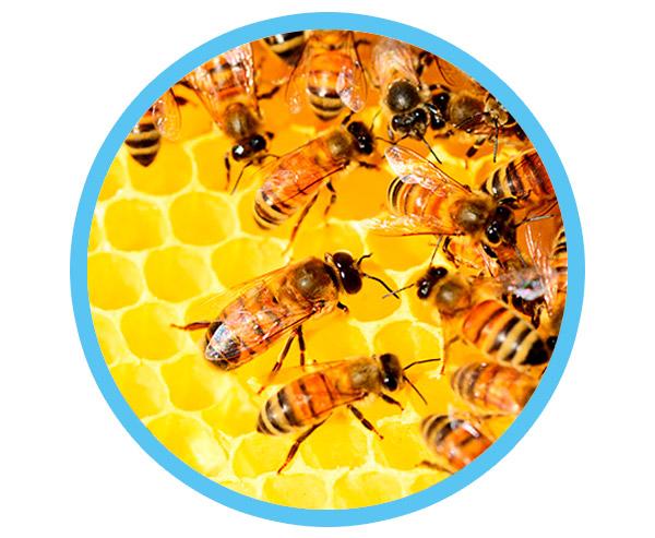 le miel et la cicatrisation